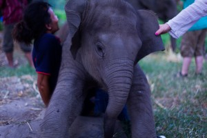 Patara Elephant Farm Set 2 201