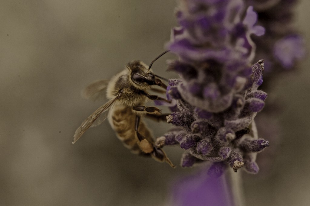Same Bee Different Lavender